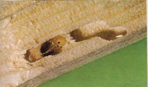 Puppe des Holzwurms